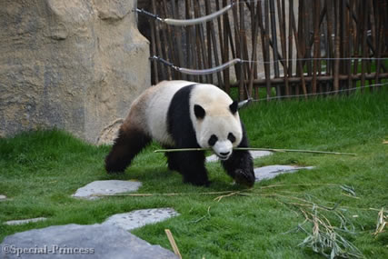 wat drinken panda